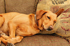 picture of a hound dog sleeping on the couch