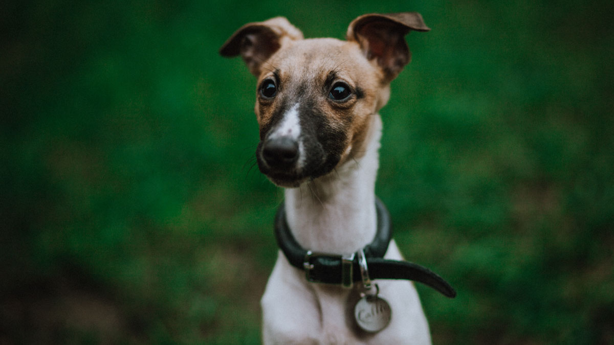 White and brown dog wearing a black rolled leather collar