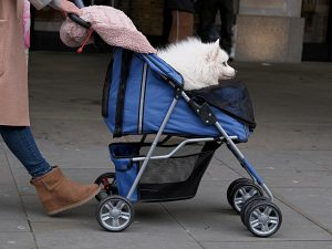 Woman walking with a blue dog stroller and a white dog on it