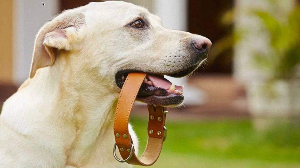 A white dog chewing a brown leather collar outdoor with green grass background