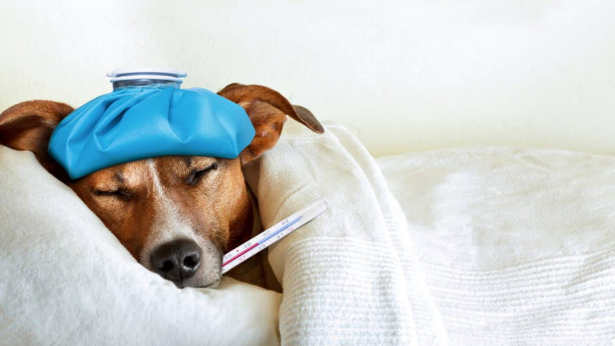 Dog lying on a sick bed with a thermometer in it's mouth