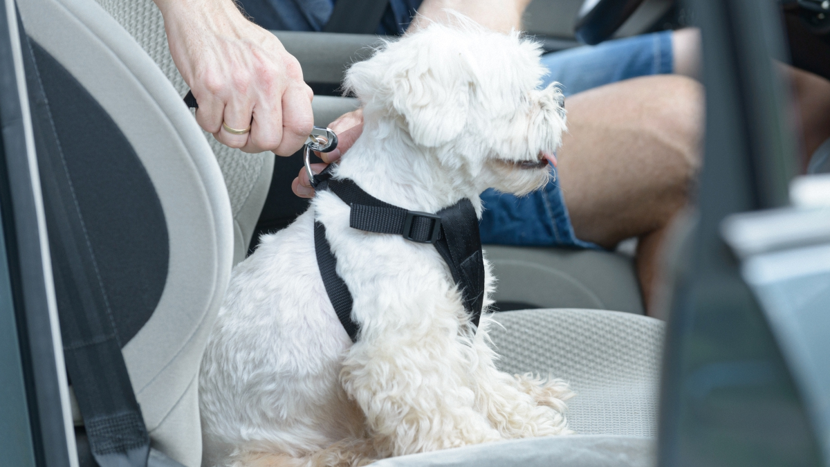 Person puts on car harness onto small white dog seatbelt